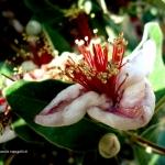 feijoa-in-fiore