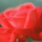 fiori-macro007